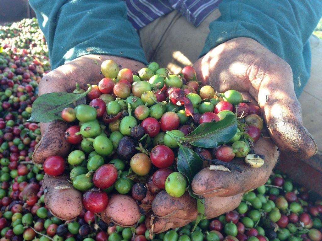 Producer handling coffee cherries