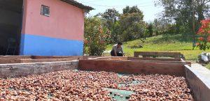 Coffee producer drying coffee cherries in farm