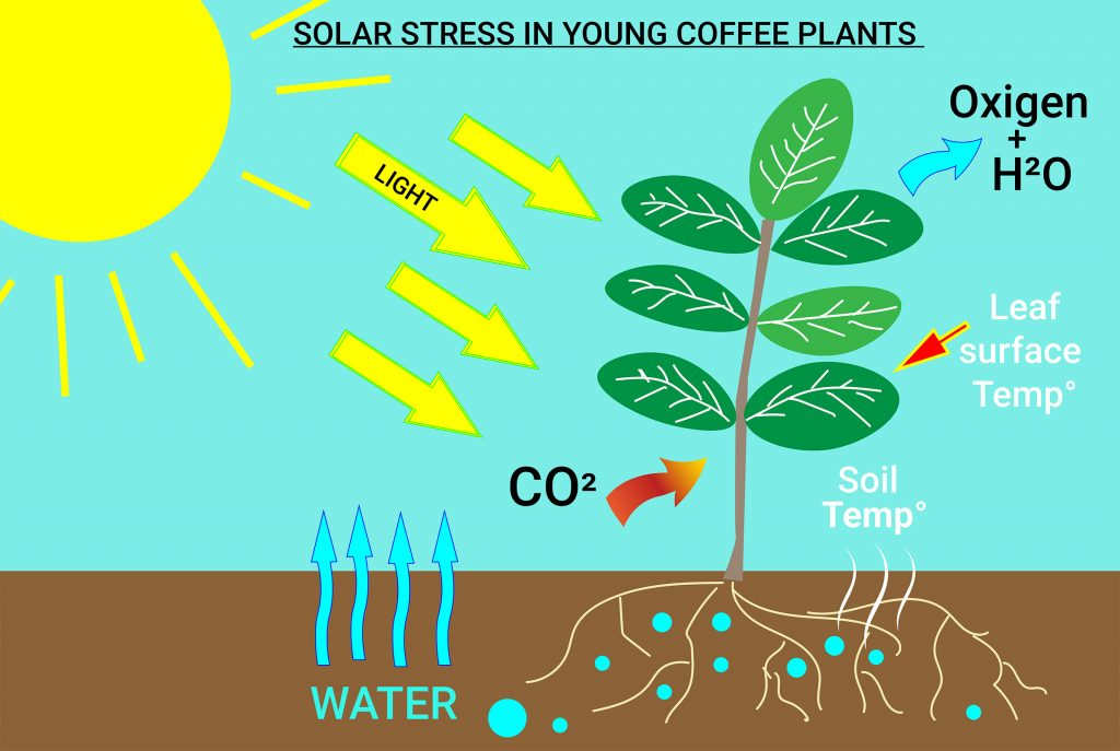 PHOTOSYNTHESIS DIAGRAMM OF YOUNG COFFEE PLANTS