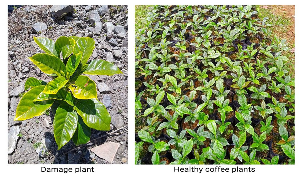 Difference between healthy and damage coffee plants